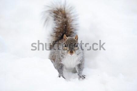 Stockfoto: Eekhoorn · sneeuw · winter · witte · Central · Park