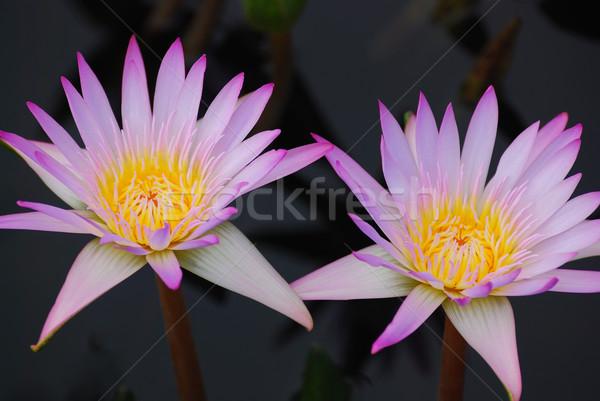 água lírio rosa cor reflexão Foto stock © rabbit75_sto