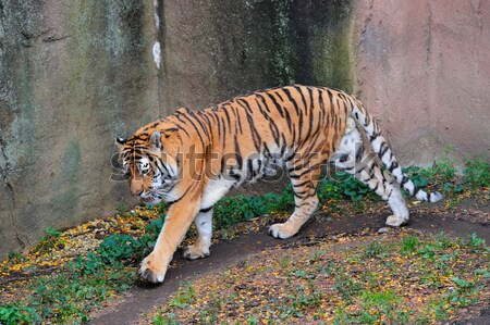 Чикаго зоопарке тигр ходьбы парка Сток-фото © rabbit75_sto