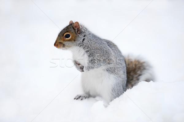 Esquilo neve inverno branco Central Park Foto stock © rabbit75_sto