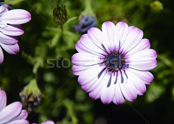 белый Purple Ромашки Сток-фото © rabel