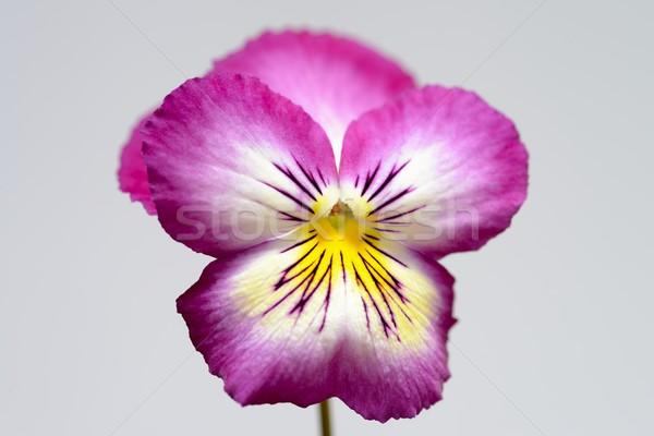Rose jaune isolé fleur lumière fond Photo stock © rabel