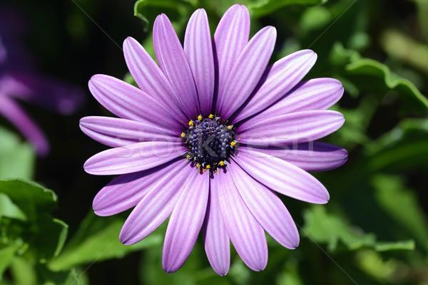 Daisy isolé pourpre fleur bâtiment beauté Photo stock © rabel