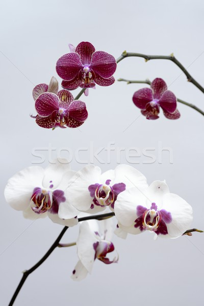 Purple белый орхидеи дома природы фон Сток-фото © rabel