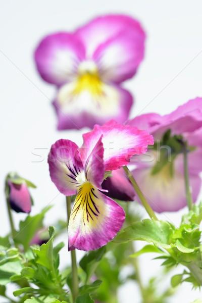 Purple белый розовый природы кадр красный Сток-фото © rabel