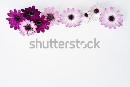Blanche pourpre marguerites printemps mariage nature Photo stock © rabel