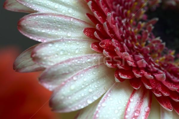 капли воды воды весны свадьба аннотация саду Сток-фото © rabel