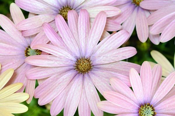 желтый Purple Daisy дизайна лет зеленый Сток-фото © rabel