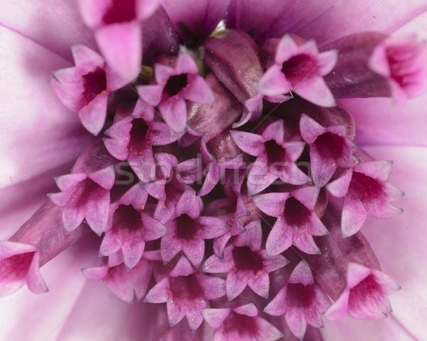 Pourpre Daisy macro résumé jardin été Photo stock © rabel