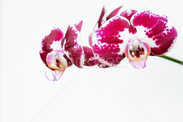 Rouge blanche orchidée beauté vert usine Photo stock © rabel