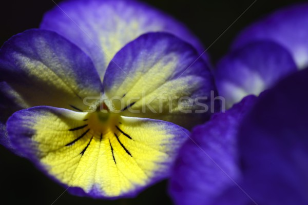 Purple цветы любви природы цвета голову Сток-фото © rabel