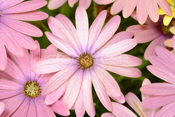 Jaune pourpre Daisy design été vert Photo stock © rabel