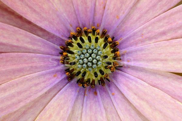 Daisy макроса весны аннотация природы красоту Сток-фото © rabel