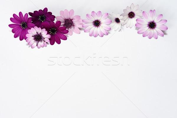 белый Purple Ромашки весны свадьба природы Сток-фото © rabel