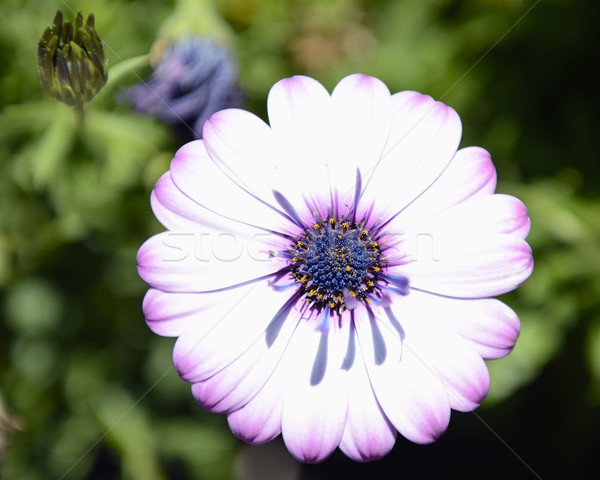 Purple белый Daisy текстуры свет фон Сток-фото © rabel