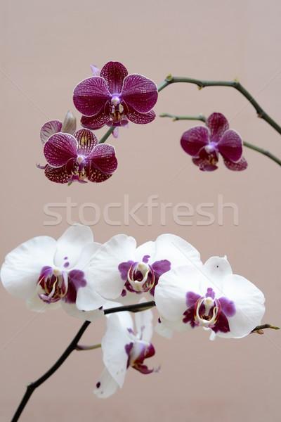 Pourpre blanche orchidée maison printemps nature Photo stock © rabel
