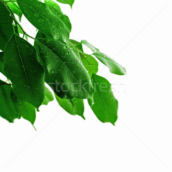 Friss zöld levelek tavasz háttér nyár zöld Stock fotó © radoma