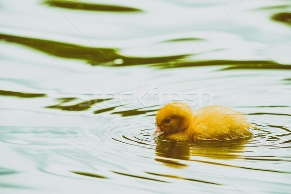 Yellow Tiny Duckling On Water Stock photo © radub85