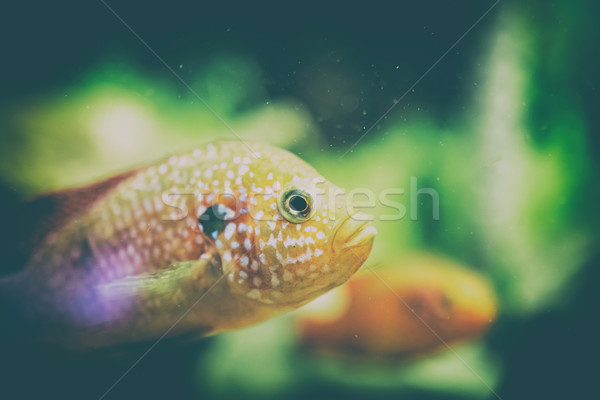 Hemichromis Lifalili Fish Stock photo © radub85