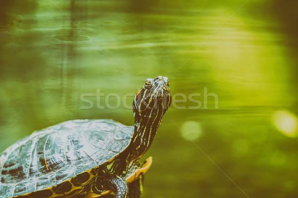 池 カメ 加熱 太陽 岩 湖 ストックフォト © radub85