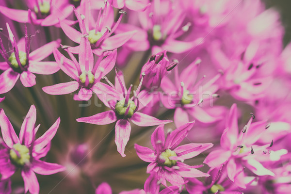 Stock photo: Allium Flowers Close Up