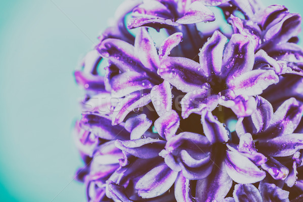 Umido giardino giacinto primavera Foto d'archivio © radub85