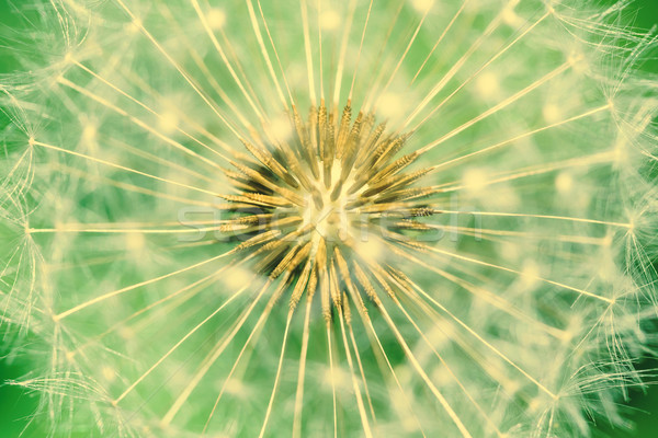 Pissenlit intérieur semences fond été Photo stock © radub85