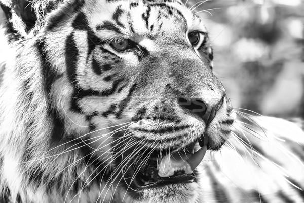 Wild Young Tiger (Panthera Tigris) Portrait Stock photo © radub85