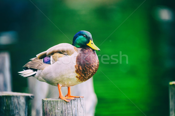 Stock photo: Wild Duck Portrait Close Up