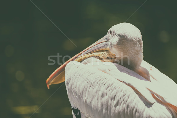 Wild White Pelican Bird Portrait Stock photo © radub85