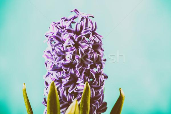 Common Dutch Garden Hyacinth (Hyacinthus Orientalis) Stock photo © radub85