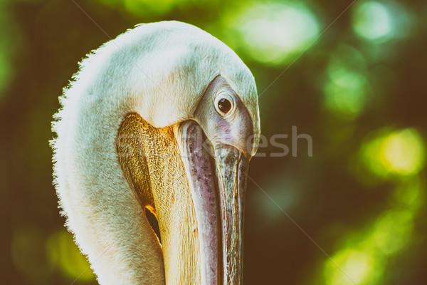 Sauvage portrait océan Afrique tête blanche Photo stock © radub85