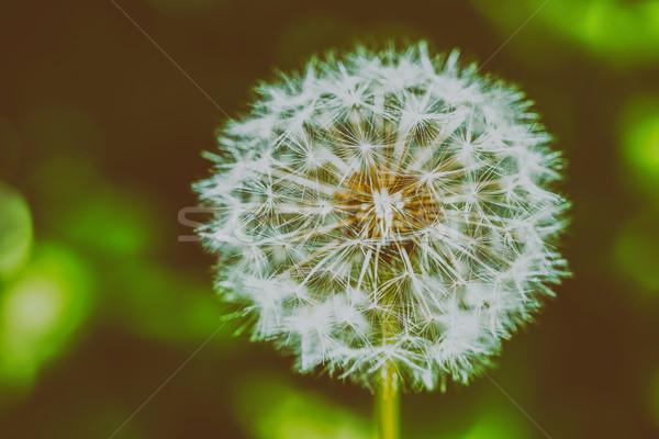 Dandelion Flower Closeup Stock photo © radub85