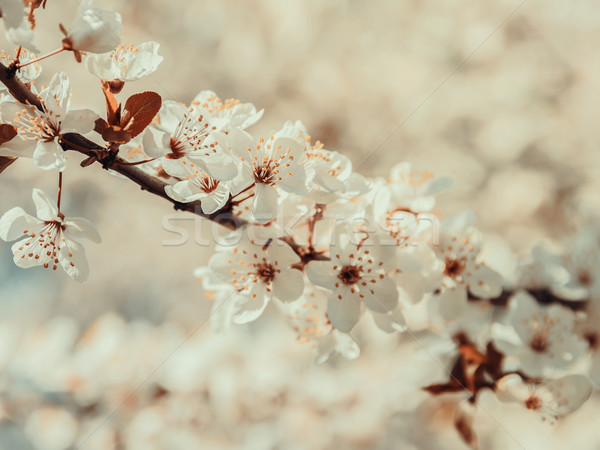 Blanche pommier fleurs printemps fleur fleur Photo stock © radub85