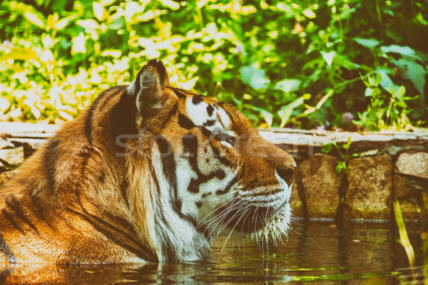 Wild Young Tiger (Panthera Tigris) Portrait Stock photo © radub85