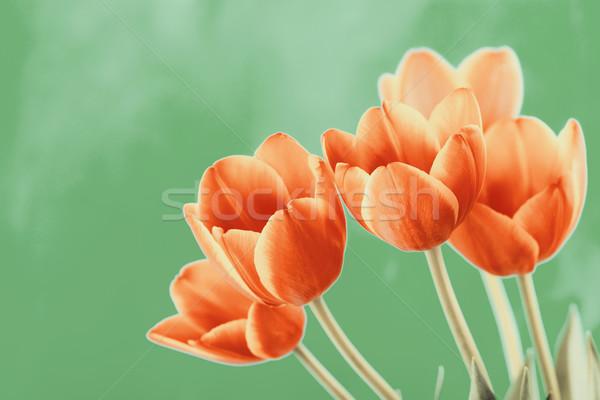 Rouge orange tulipes fleurs bouquet jardin Photo stock © radub85