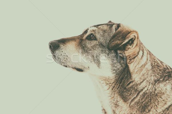 Evsiz köpek portre arka plan üzücü Stok fotoğraf © radub85