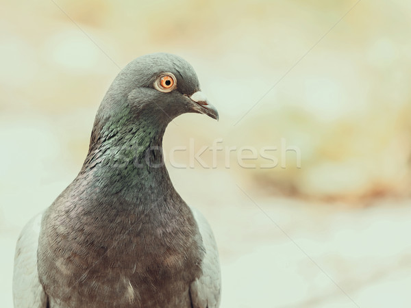 Pigeon Portrait Stock photo © radub85