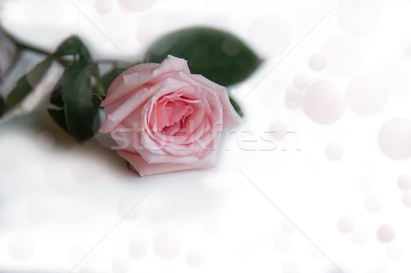 Wzrosła jeden biały bokeh charakter Zdjęcia stock © raduga21