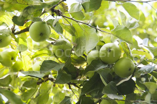 Jabłka oddziału dojrzały zielone pozostawia słońce Zdjęcia stock © raduga21