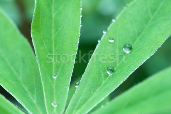 Leaves with Droplets Stock photo © rafalstachura
