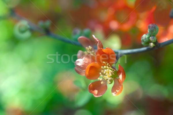 Fleurs rouge fleur peu profond arbre Photo stock © rafalstachura
