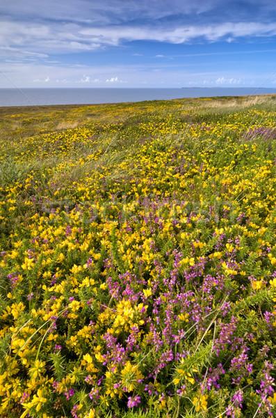 Fleurs jaunes domaine prairie ciel bleu océan été Photo stock © rafalstachura