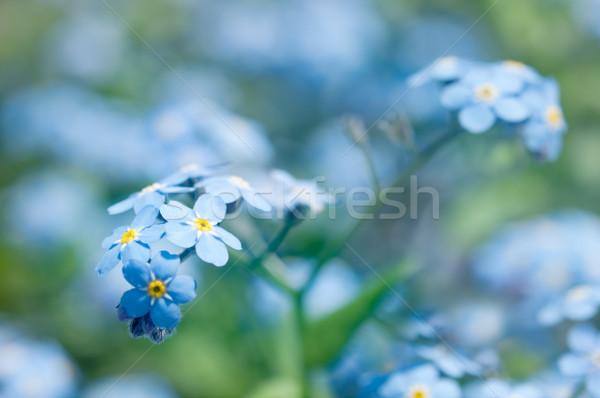 Forget-Me-Not Flowers Stock photo © rafalstachura