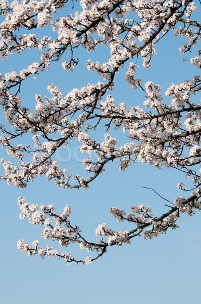 árvore frutífera flores branco blue sky céu árvore Foto stock © rafalstachura