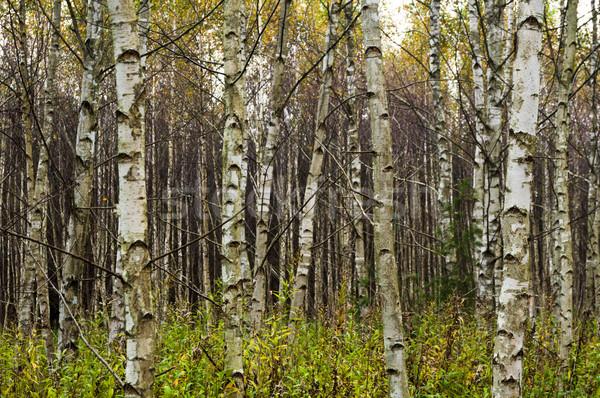 Birch Trees Stock photo © rafalstachura