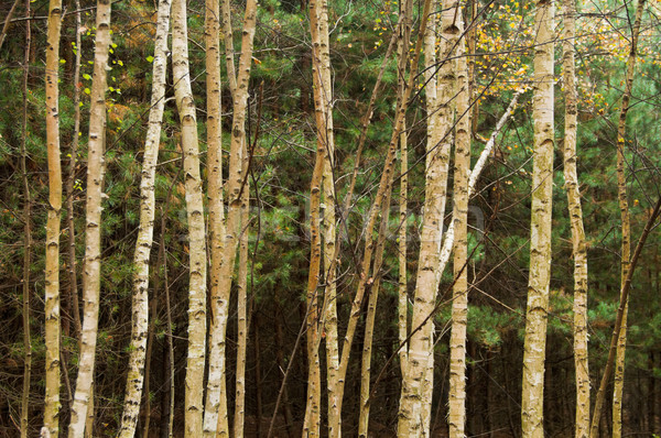 Stock photo: Birch Trees