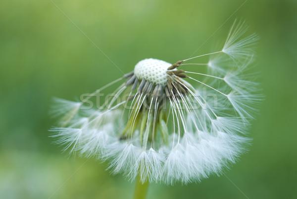 Pissenlit vert nature fond tête Photo stock © rafalstachura