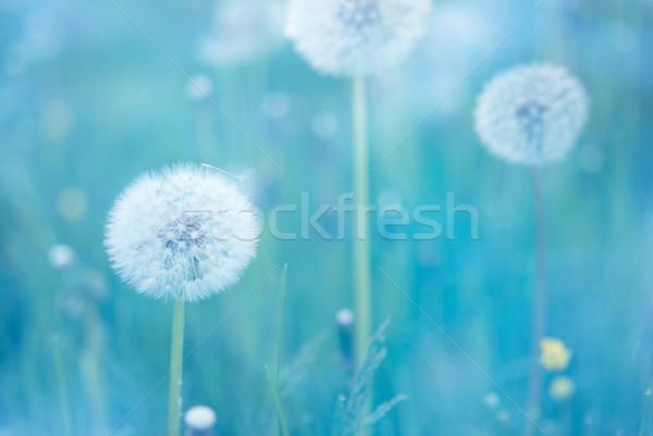 Dandelion flores estreito primavera Foto stock © rafalstachura