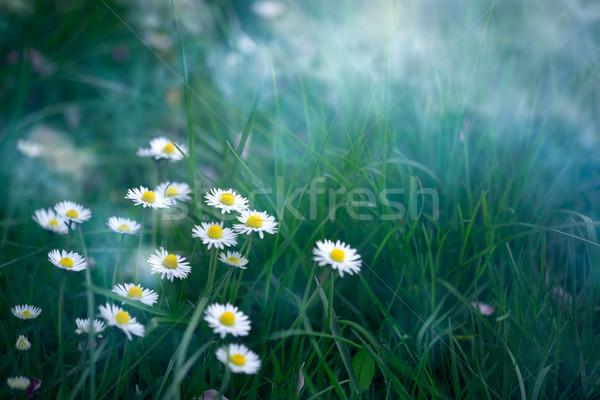 Primavera estate fiore margherite natura mattina Foto d'archivio © rafalstachura